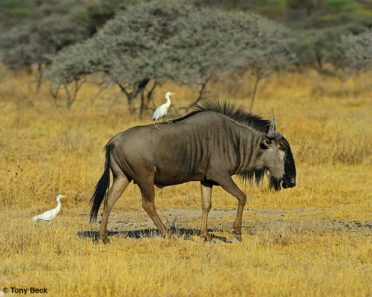 Cattle Egret & Wildebeast