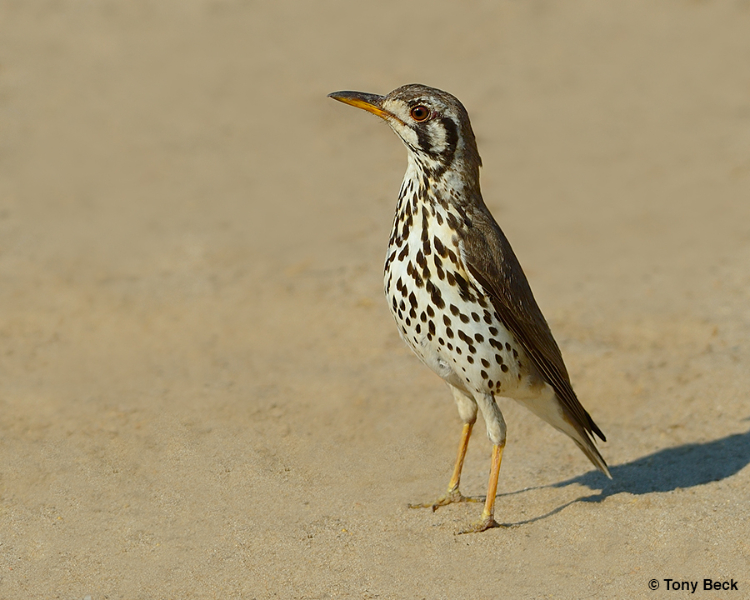 Ground Scraper Thrush