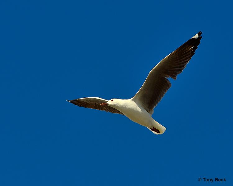 Hartlaubs Gull