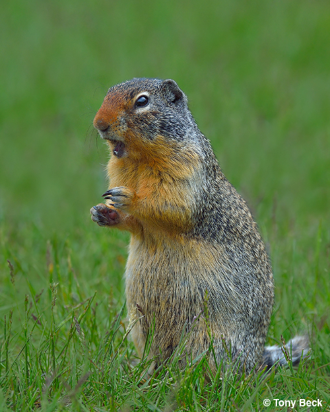 columbiangroundsquirrel001