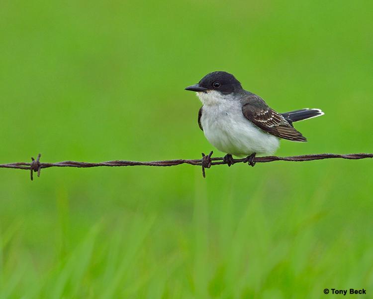 easternkingbird001