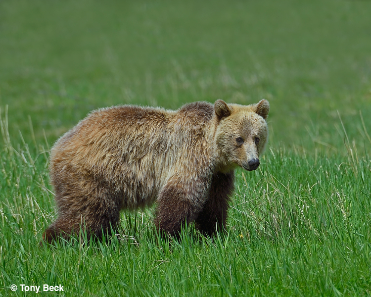 grizzly003