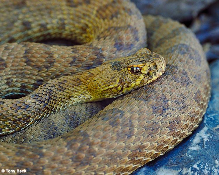 prairierattlesnake001
