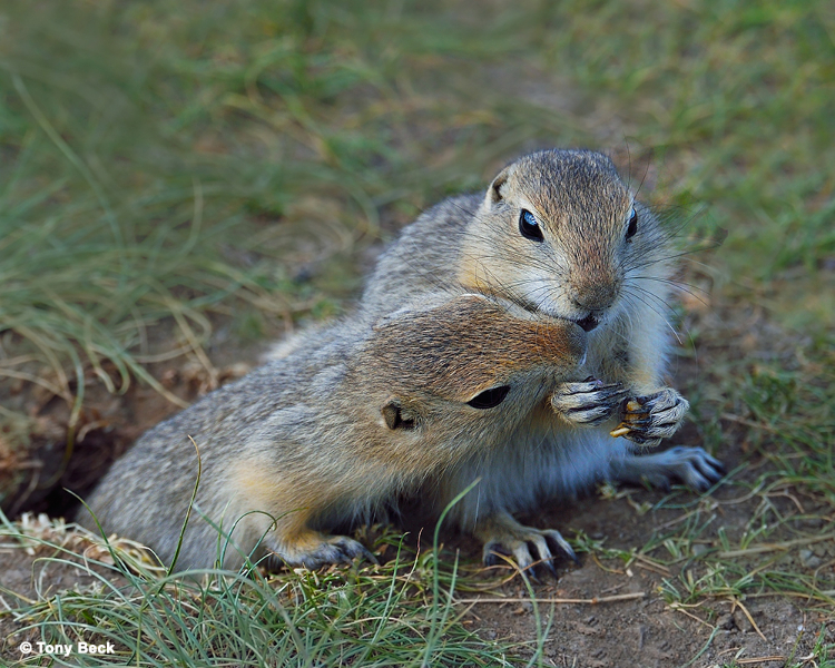 richardsonsgroundsquirrel001