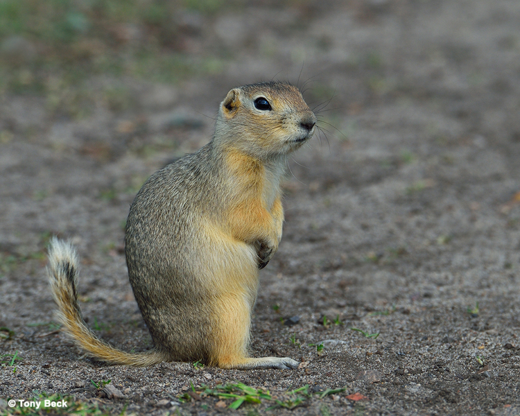 richardsonsgroundsquirrel002
