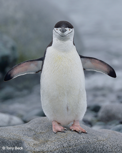 chinstrappenguin001