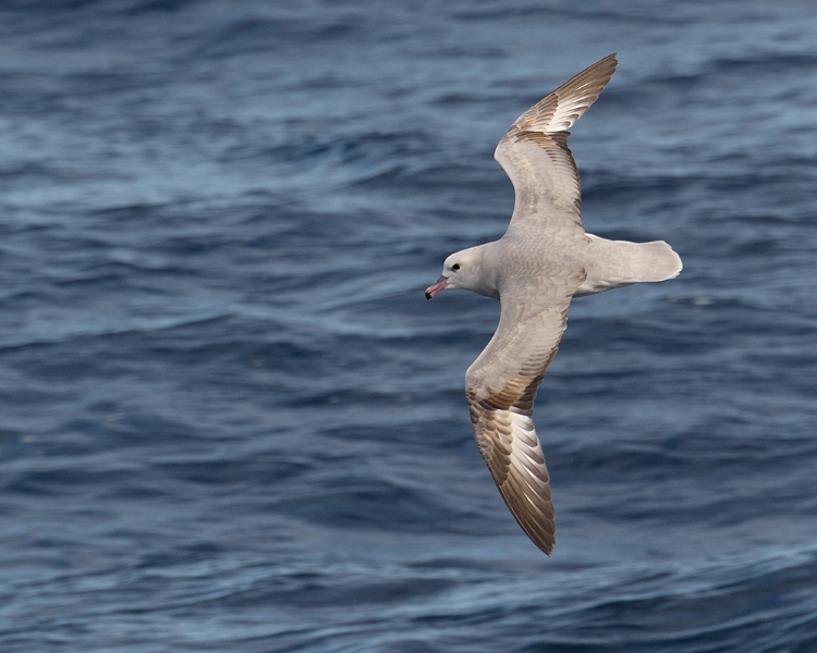 southernfulmar001