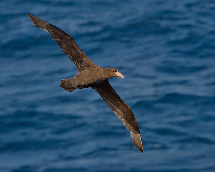 southerngiantpetrel001