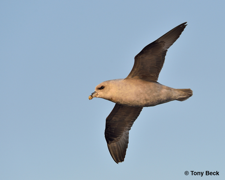 northernfulmar002