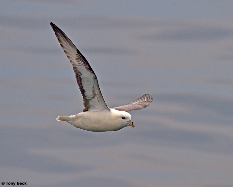 northernfulmar009