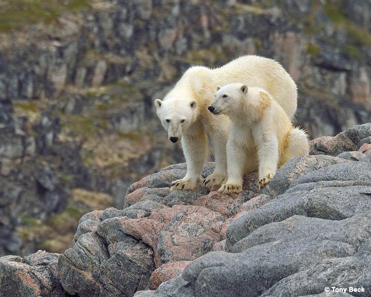 polarbear001a
