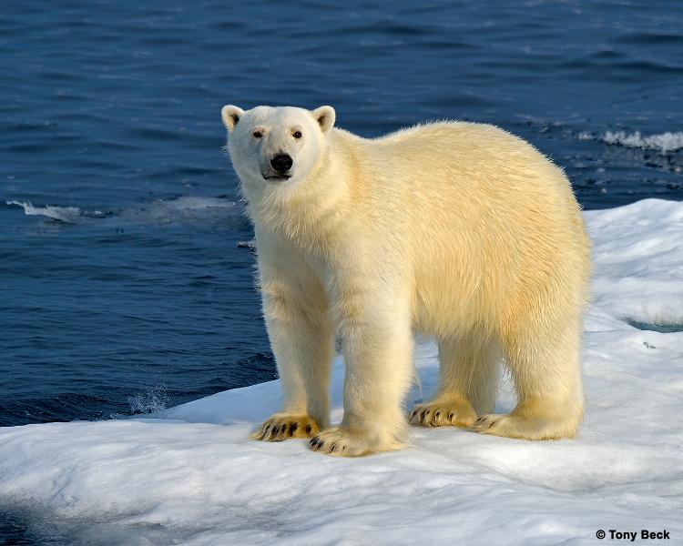 polarbear003b