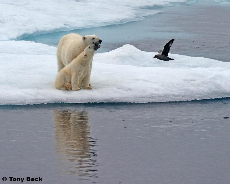 polarbear010