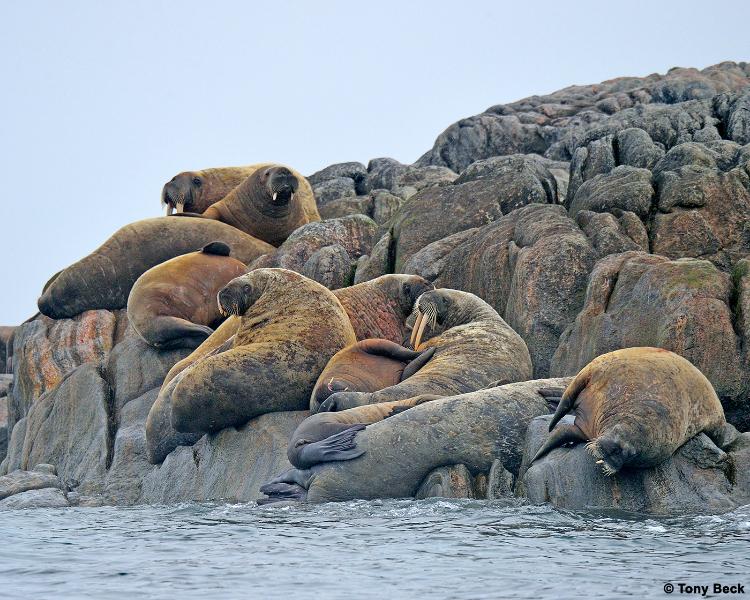 walrus006