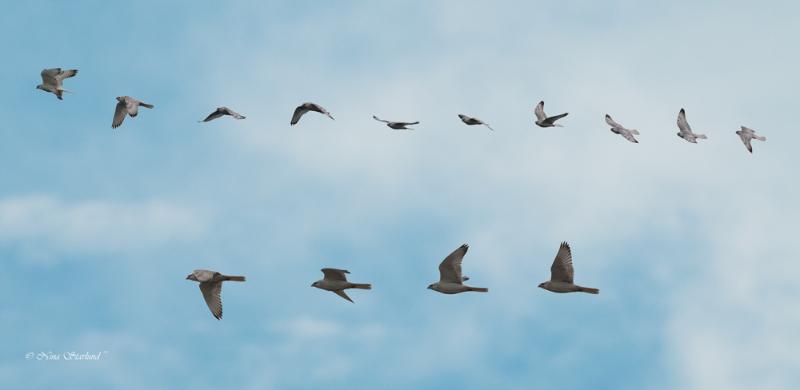 White morph Gyrfalcon in flight (manipulation)
