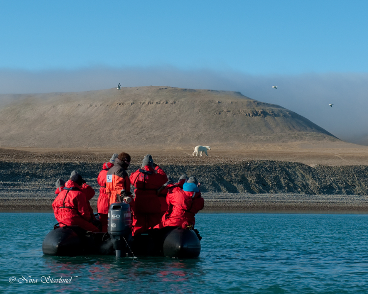 Photographing wild Polar Bear