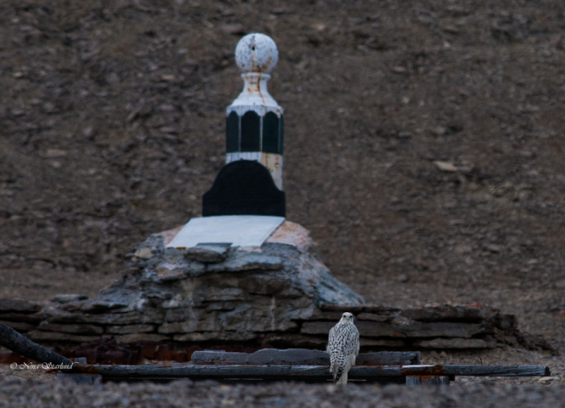 Gyrfalcon & Bellot memorial tablet at Beechey Island