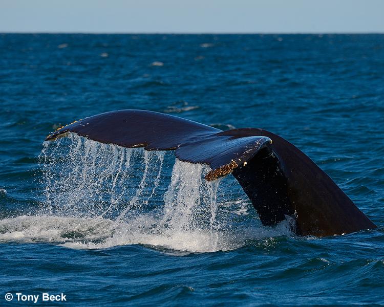 humpbackwhalefluke001