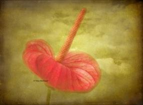 Red Anthurium (PhotoArt)