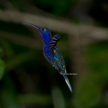 Male Violet Saberwing