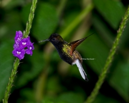 Male Black-bellied Hummingbird