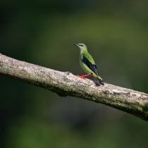 Red-legged Honeycreeper