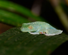 Red-legged Tree Frog