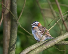Rufous-collard Sparrow