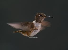 Female Volcano Hummingbird