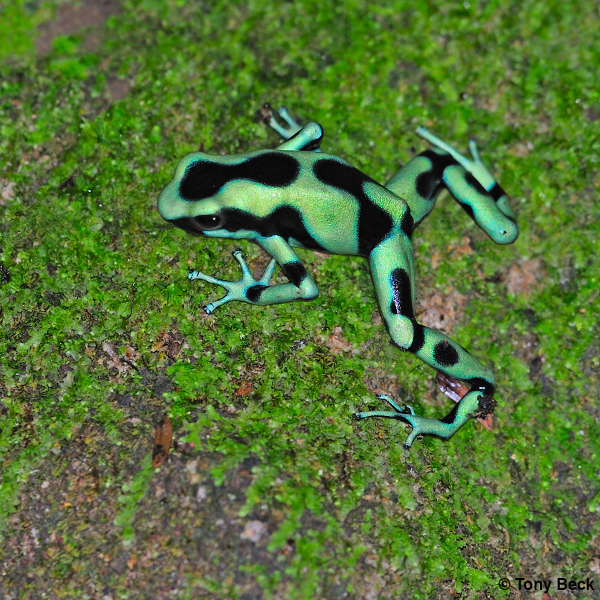 Black-and-Green Poison Dart Frog