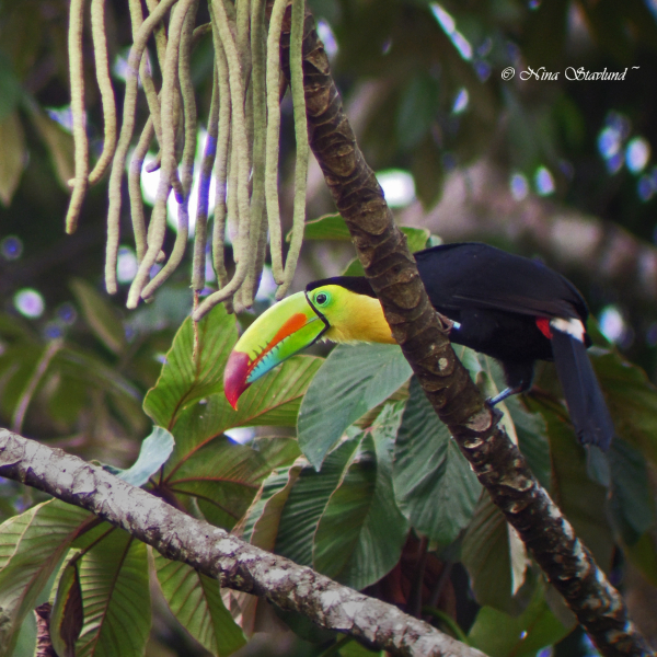 Digiscoped Keel-billed Toucan