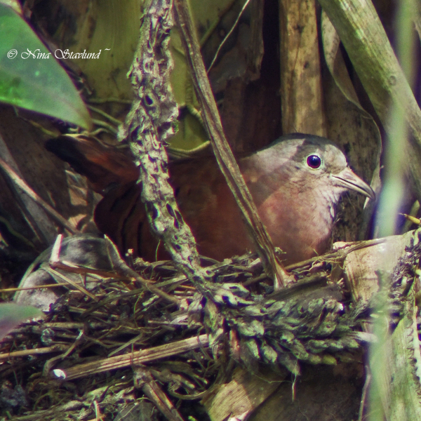 Digiscoped Ruddy Ground-Dove on nest