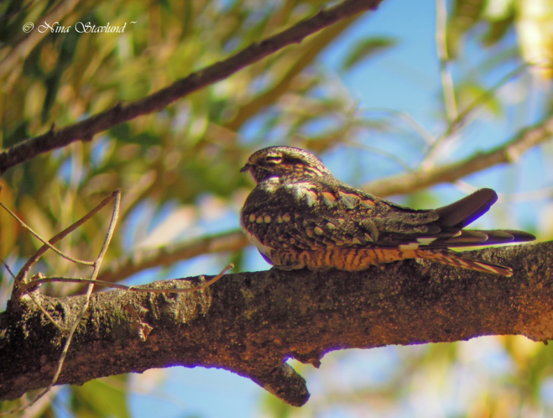 Digiscoped Lesser Nighthawk
