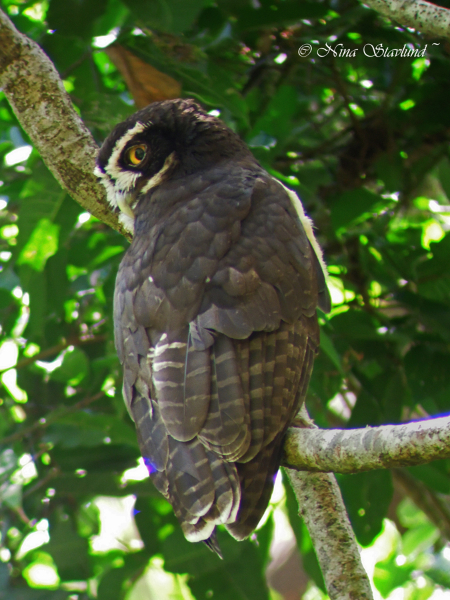 Digiscoped Spectacled Owl