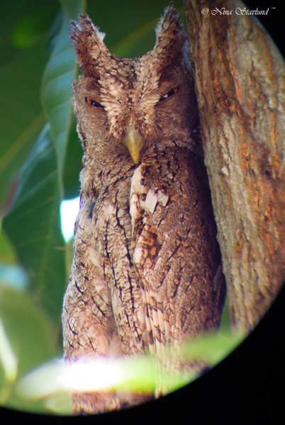 Digiscoped Pacific Screech Owl
