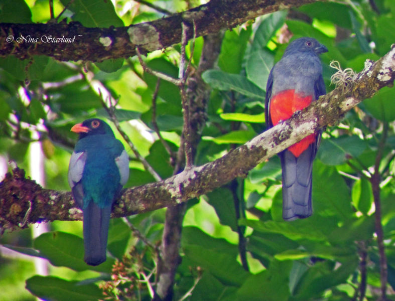 Digiscoped Pair of Slaty-tailed Trogons