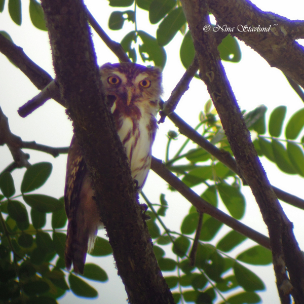 Digiscoped Ferruginous Pygmy-Owl