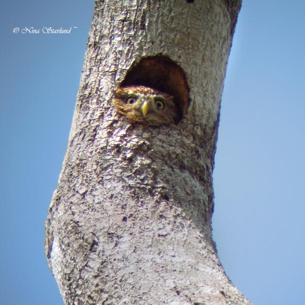 Digiscoped Ferruginous Pygmy-Owl