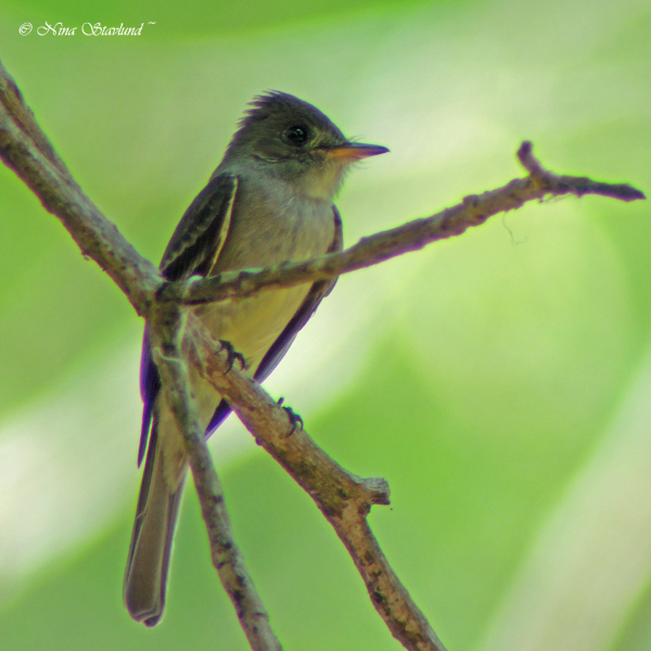 Digiscoped Tropical Pewee