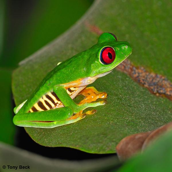 Red-eyed Leaffrog