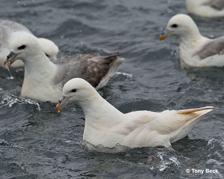 northernfulmar003