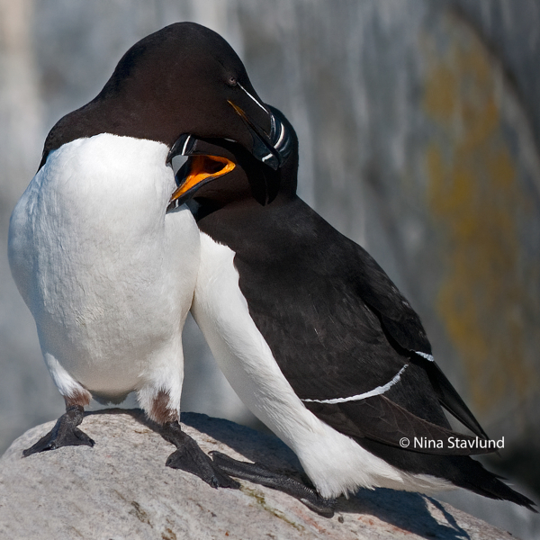 Bonded pair of Razorbill