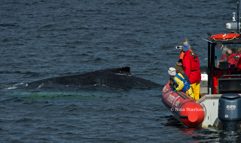 Whalewatching at Riviere-du-Loup, Tadoussac