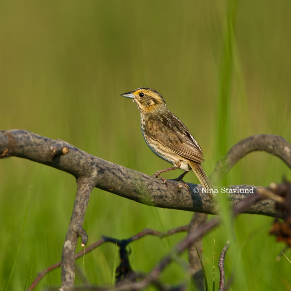 Nelsons Sparrow
