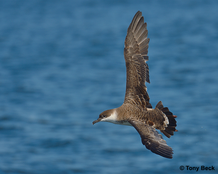 Great Shearwater