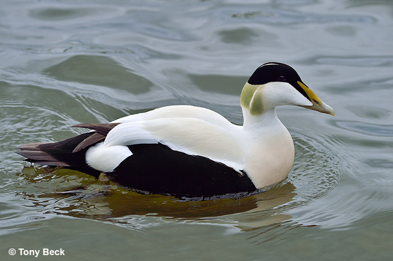 commoneider002