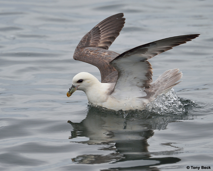 northernfulmar004
