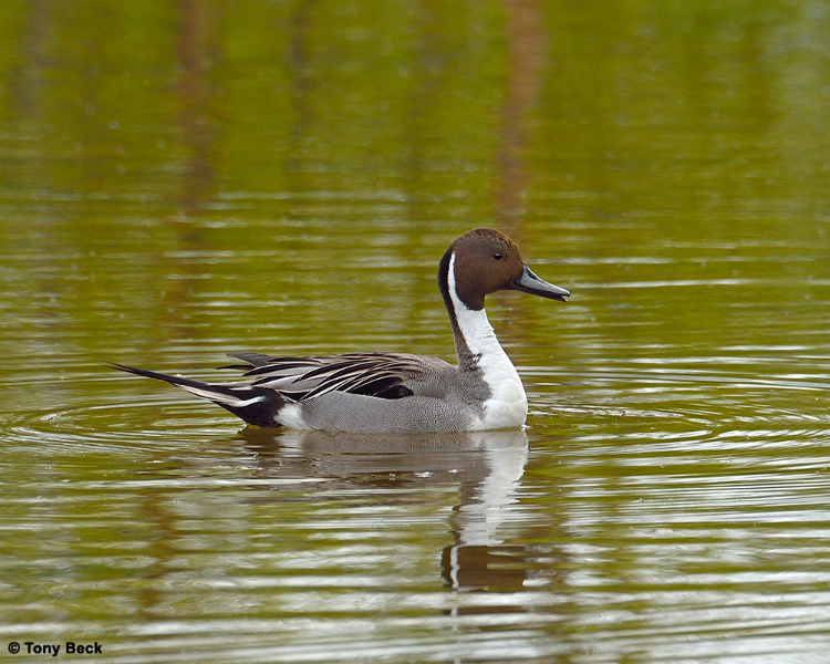 northernpintail001