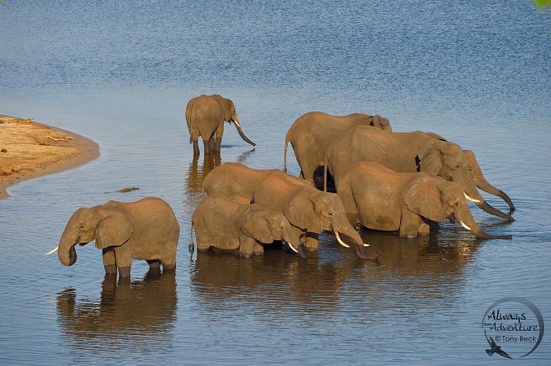 africanelephant003