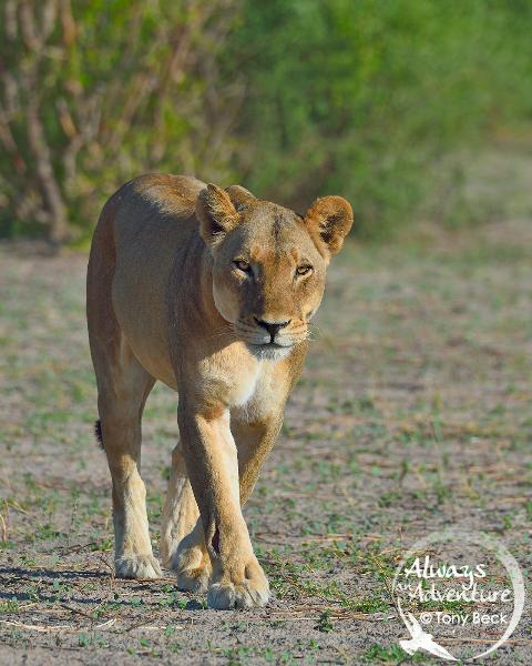 lion003b